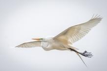 Great egret (photo by Paul Bigelow)