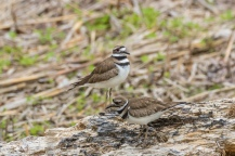 Killdeer (photo by Paul Bigelow)