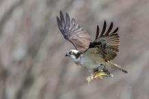 Osprey (photo by Paul Bigelow)
