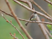 Eastern phoebe (photo by Brittany Rowan)