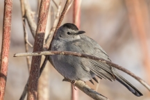 Gray catbird (photo by Paul Bigelow)