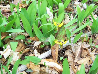 Mix of yellow trout lily & wild leek leaves