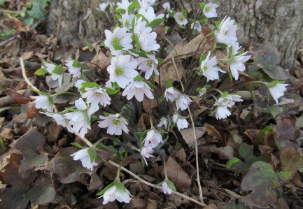 Hepatica is starting to flower in upland forests