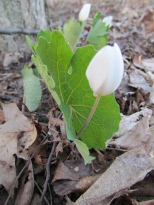 Watch for bloodroot flowers, often partially shrouded by leaves
