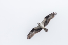 Breeding pairs of osprey are returning to the Region (photo by Paul Bigelow)