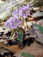 Carolina spring beauty.