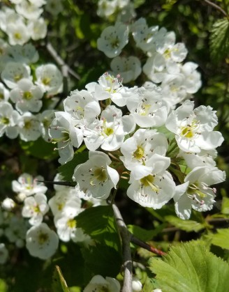 Hawthorn trees are flowering. Note the large thorns.