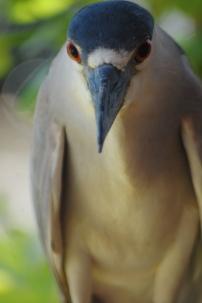 Black-crowned night-heron (Photo by Brittany Rowan)