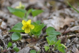 Smooth yellow violet (photo by Brittany Rowan)