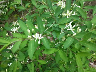 Tartarian honeysuckle, an invasive species, is starting to flower