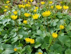 Lesser celendine (Invasive Species).