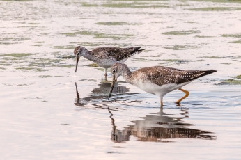 Greater yellowlegs (Photo by Paul Bigelow)