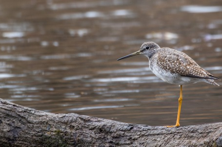 Lesser yellowlegs (Photo by Paul Bigelow)