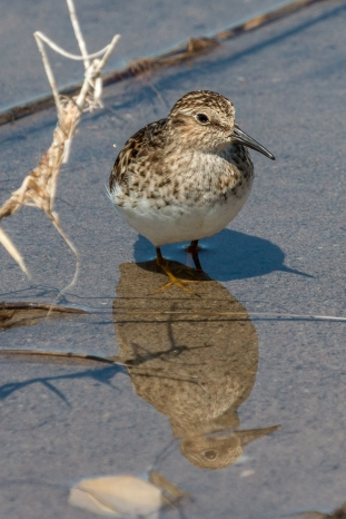 Least sandpiper (Photo by Paul Bigelow)