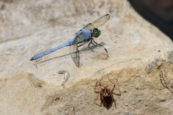 Eastern pond hawk dragonfly (Photo by Brittany Rowan)