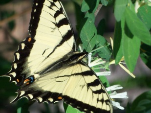 Tiger swallowtail (Photo by Brittany Rowan)