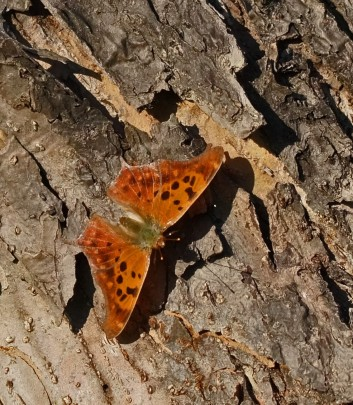 Question mark butterfly (photo by Dave Denk, Instagram = dddave226)