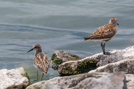Semipalmated sandpiper (Photo by Paul Bigelow)