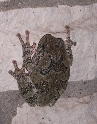 Gray tree frog. Note the suction cups on its toes.