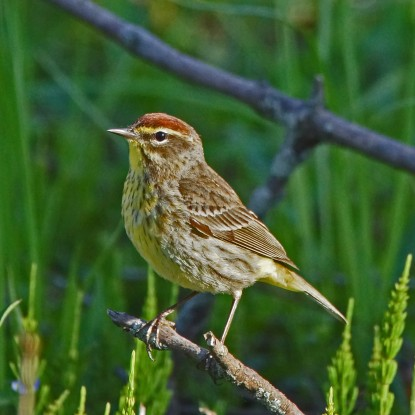 Palm warbler (photo by Dave Denk, Instagram = dddave226)