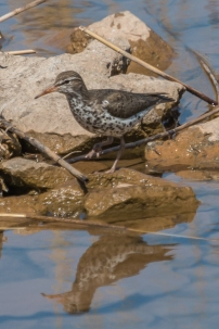 Spotted sandpiper (Photo by Paul Bigelow)