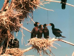 Double-crested cormorants nesting (Photo by Connie Adams)