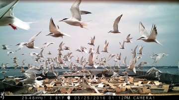 Common tern colony (NYSDEC trail cam photo)