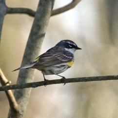 Yellow-rumped warbler (photo by Dave Denk, Instagram = dddave226)
