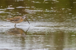 Short-billed dowitcher(Photo by Paul Bigelow)