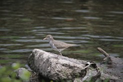 Spotted sandpiper (Photo by Brittany Rowan)