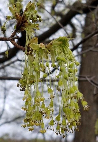 Sugar maple is blooming this week