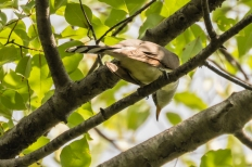 Yellow-billed cuckoo (Photo by Paul Bigelow)