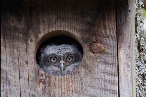 Eastern screech owl about to fledge from Grand Island nest box (Photo by Jodi Wroblewski)