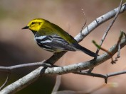 Black-throated green warbler (Photo by Tim Baird)