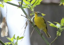 Nashville warbler (photo by Brittany Rowan)