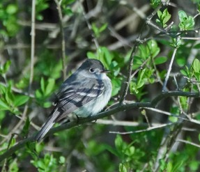 Difficult to identify Empidonax flycatcher (Photo by Paul Bigelow)