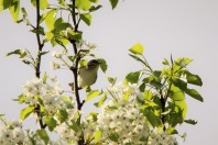Warbling vireo (Photo by Brittany Rowan)