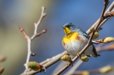 Northern parula (photo by Paul Bigelow)