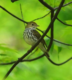 Ovenbird (Photo by Tim Baird)