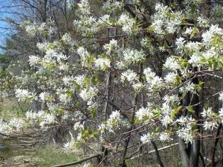 Shadbush and serviceberry may start flowering this week