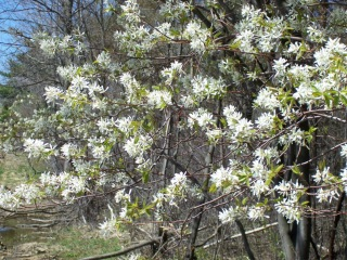 Shadbush and serviceberry may start flowering this week