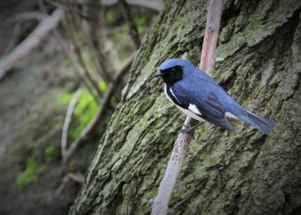 Black-throated blue warbler (photo by Brittany Rowan)