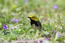 Black-throated green warbler (photo by Brittany Rowan)