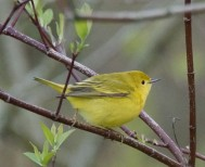 Female yellow warbler(?) (Photo by Dave Denk instagram = dddave226)
