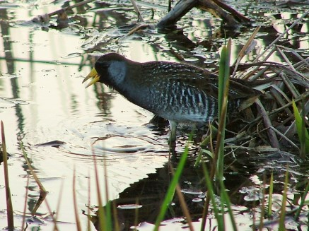 Sora (a type of rail) in Iroquois NWR marsh (photo by Bob Ensminger)
