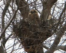 "Great horned owl young are about ready to ""fledge"" - typically leaving the nest before capable of flight (photo by Henry Ciesla)"