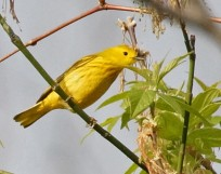 Yellow warbler (Photo by Dave Denk instagram = dddave226)