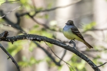 Great crested flycatcher (photo by Paul Bigelow)