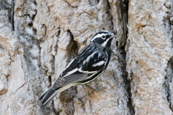 Black and white warbler (photo by Brittany Rowan)