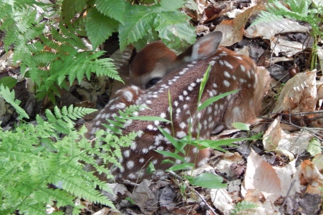 White-tailed deer fawn (Photo by Kim Adriaansen)